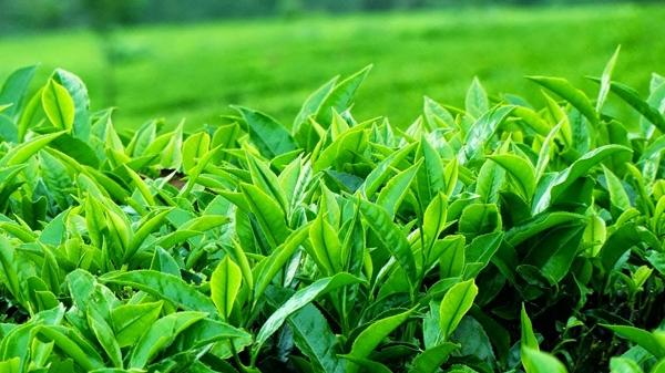 lá trà xanh tươi